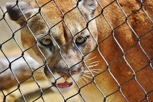 cougar full face, ear flap down (640x427)