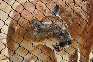 cougar showing off teeth (640x427)