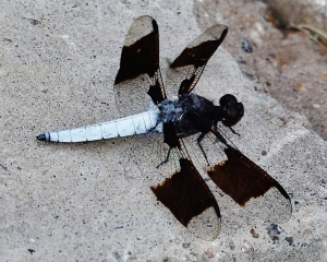 common whitetail skimmer male dragonfly with white tail using tripod 021 (1280x1024) (2)