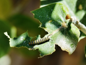 Monarch Buttefly Caterpiller (1280x965)