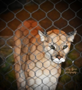 cougar close to fence, eyes (1168x1280)