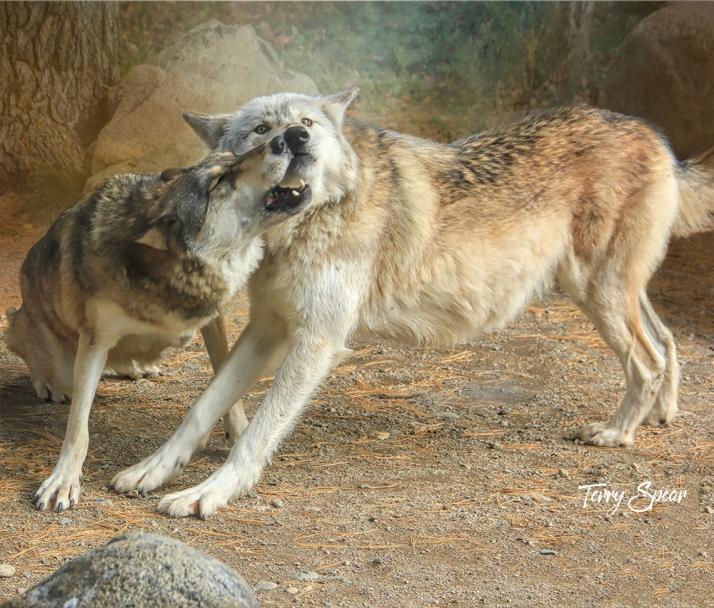 Aidan and Denali play fighting 1000 Wolf Center 355 adjust oil royal drama